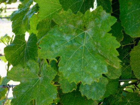 Отравление виноградом: симптомы и быстрое лечение